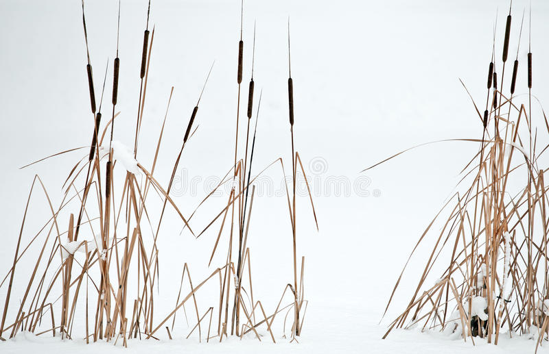 Reeds in the winter scene. At the park stock images