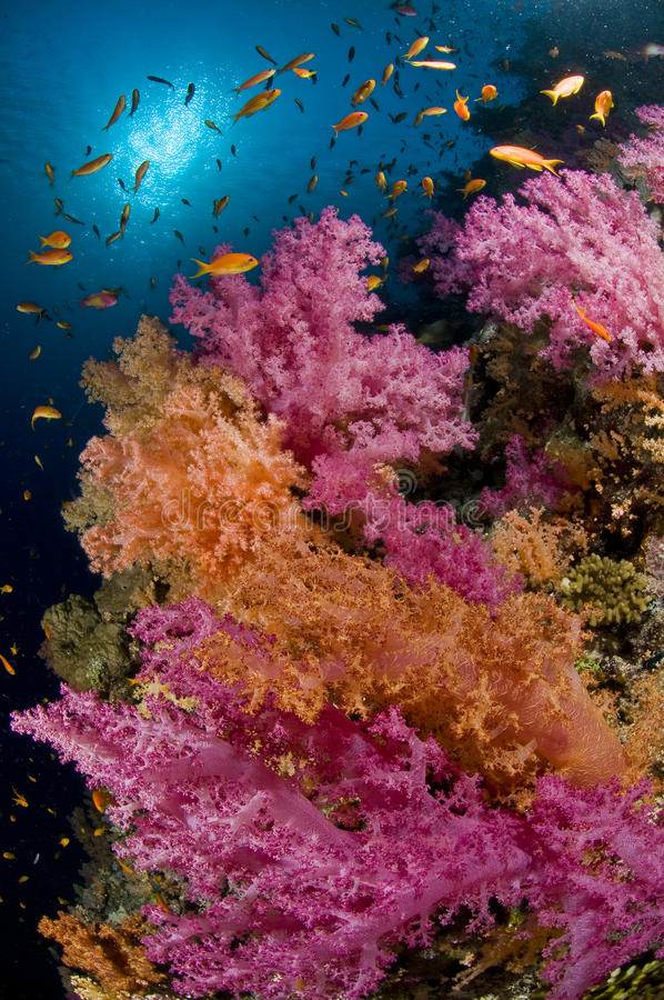 Free Reef And Colored School Of Fish, Red Sea, Egypt Royalty Free Stock Photo - 12545295