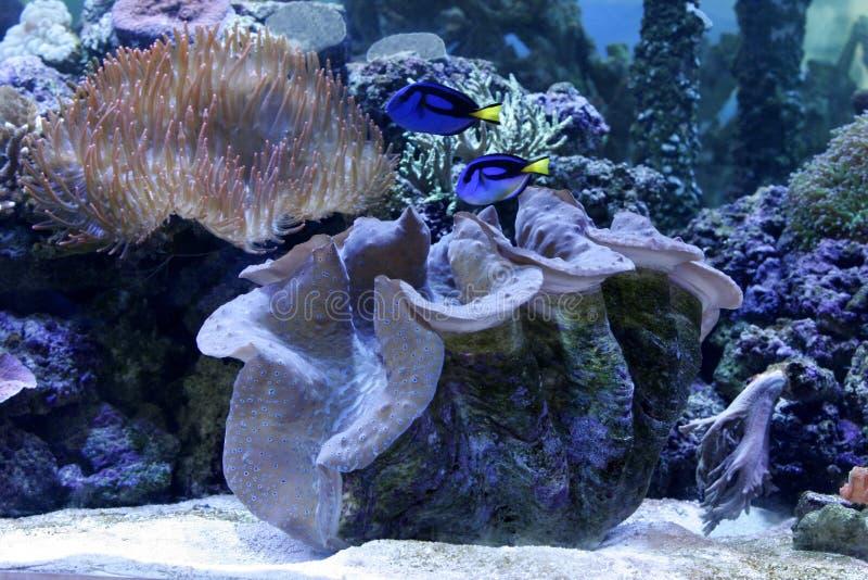 Reef aquarium. Mega and regal tangs stock images
