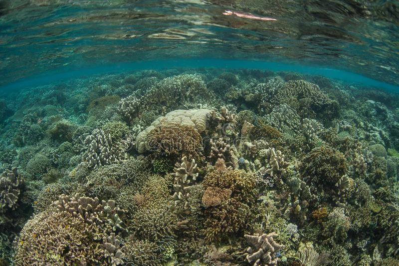 Reef-Building Corals in Shallow Water in Raja Ampat. Healthy reef-building corals thrive in shallow water in Raja Ampat, Indonesia. This tropical region is home royalty free stock photo