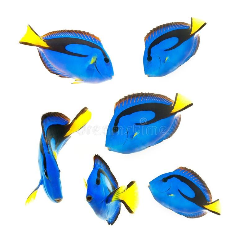 Free Reef Fish, Blue Tang Royalty Free Stock Image - 26370006