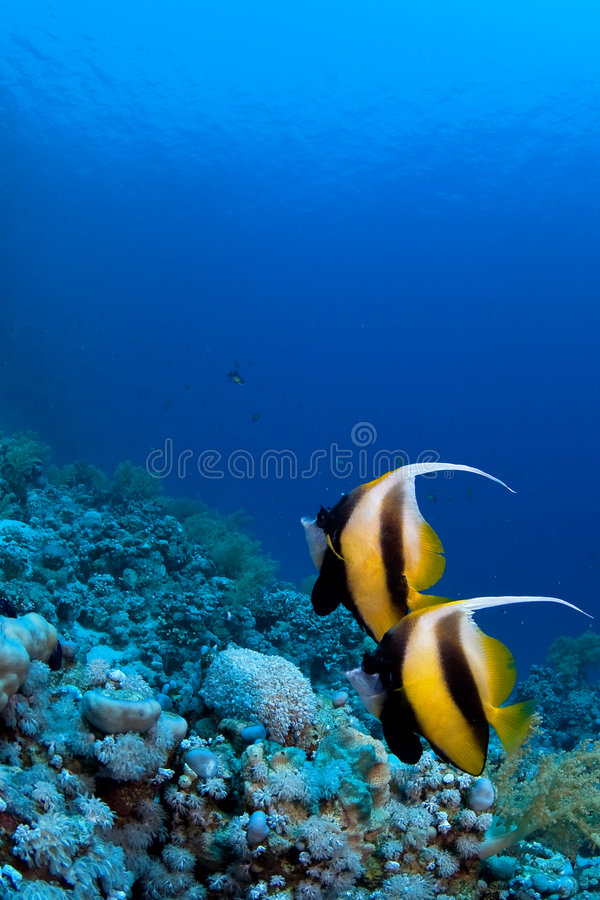 Reef fish on coral. Reef fish couple on coral reef
