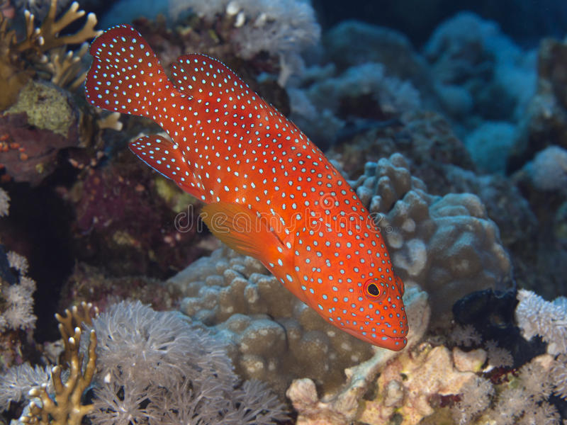 Reef fish Coral hind royalty free stock images