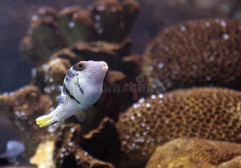 Reef saltwater puffer fish royalty free stock image