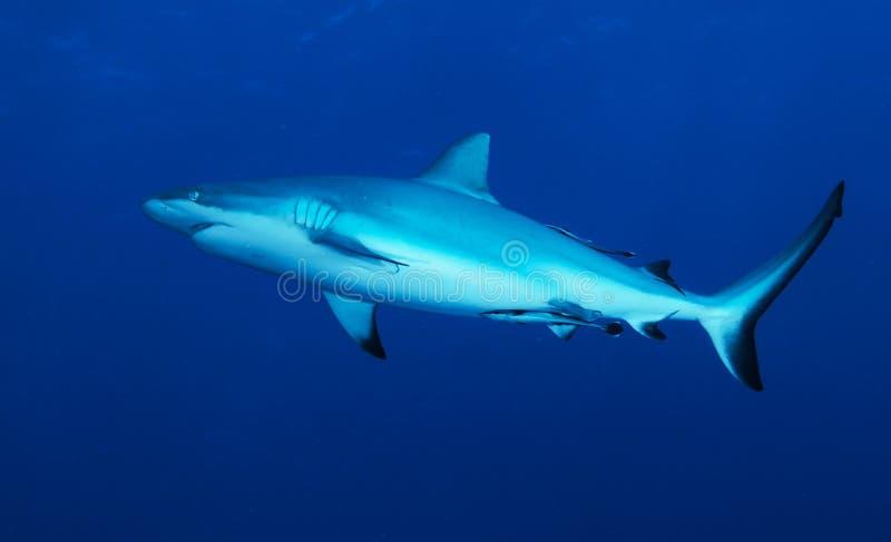 Download Reef shark stock photo. Image of deep, diving, shark - 10757900