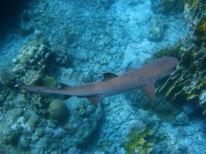Reef shark and coral reef stock photo
