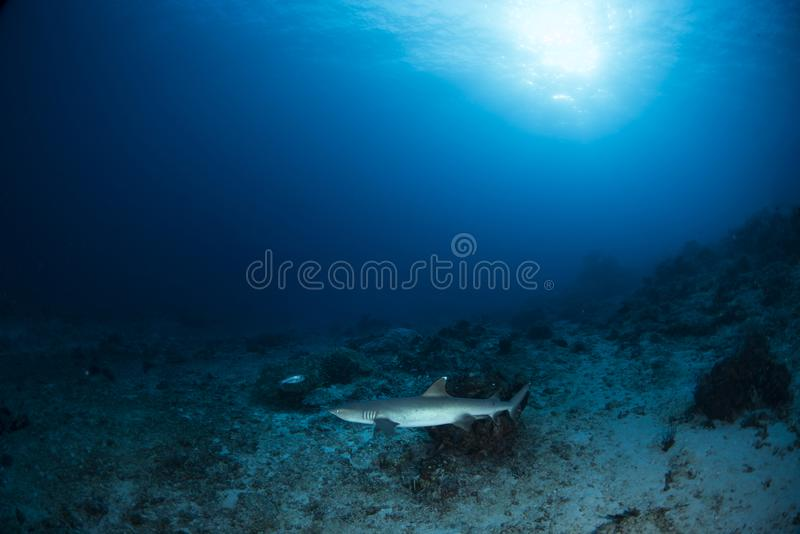 Reef shark on coral reef with blue background stock photos