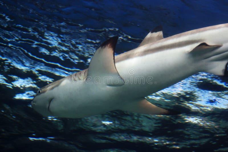 Reef shark gliding stock photography
