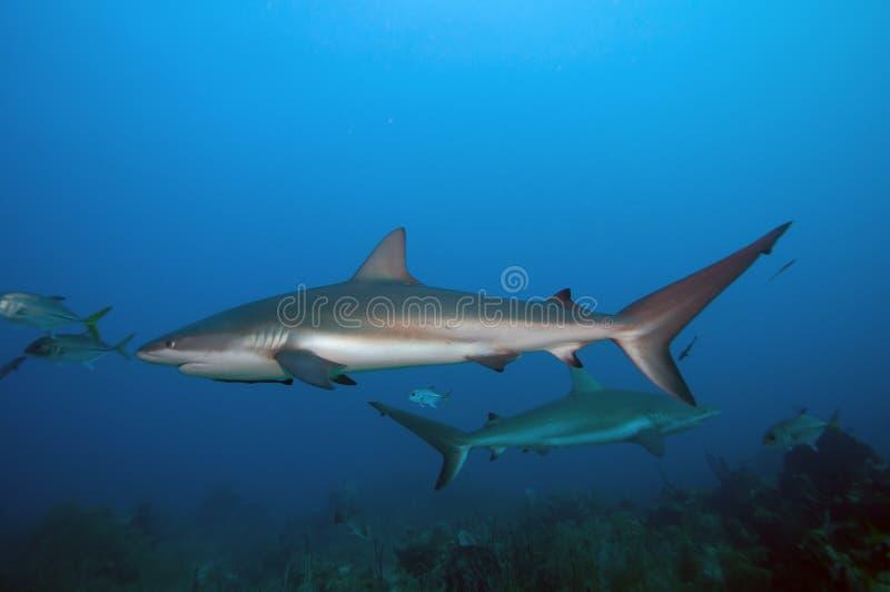Reef shark school. A school of reef shark circling around us in Roatan Honduras royalty free stock photo