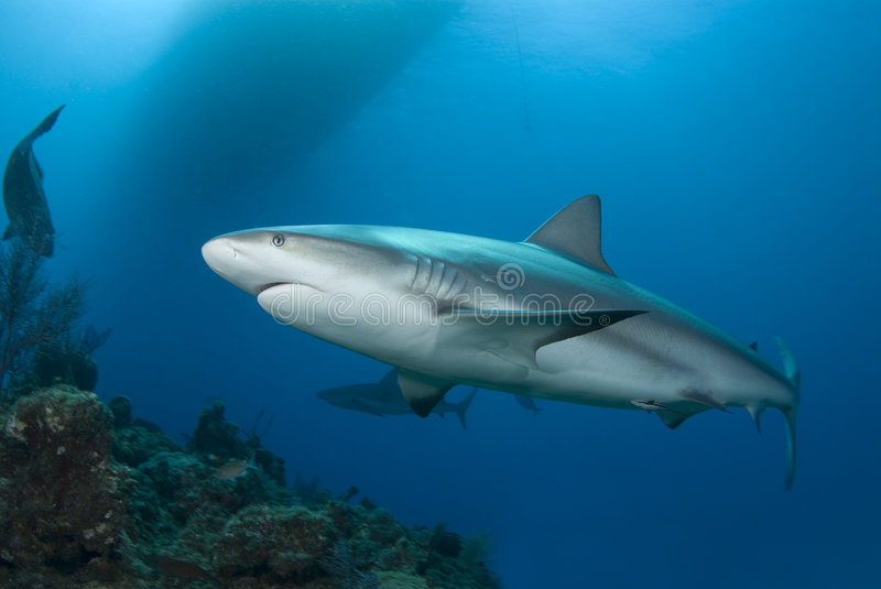 Reef Shark and Surface stock photo