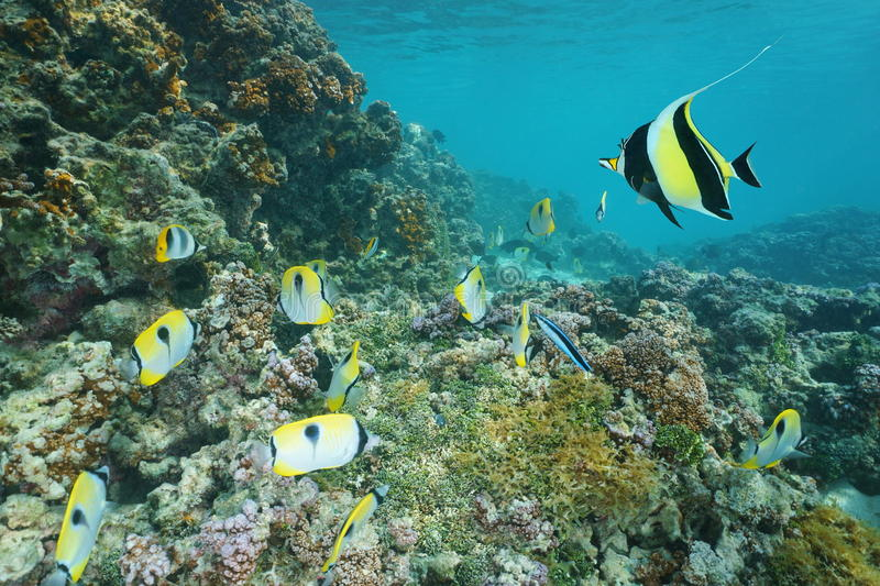 Reef with tropical fish Raiatea French polynesia. Underwater on a coral reef with tropical fish teardrop butterflyfish and a moorish idol, Pacific ocean, Raiatea stock image