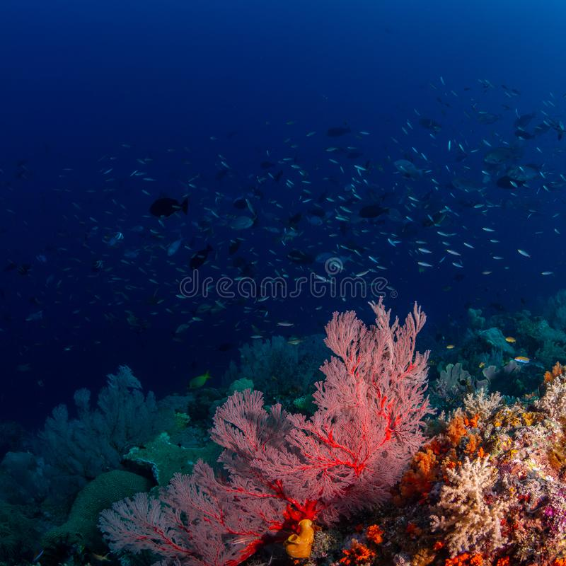 Riotous colours and forms. Misool, Raja Ampat, Indonesia. The reefs in the Misool Marine Protected Area within Raja Ampat, Indonesia, are the richest on earth royalty free stock images