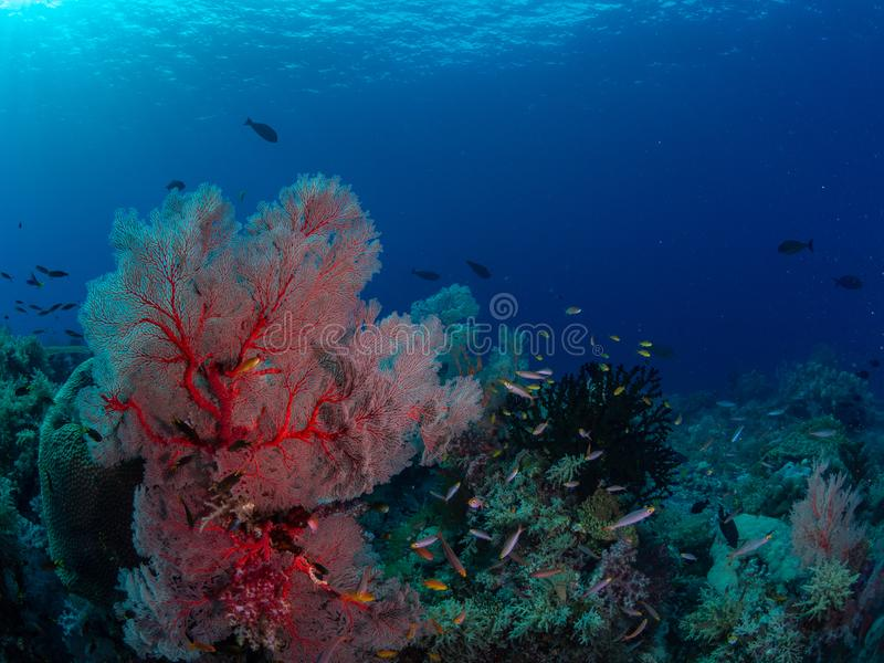 Richest reefs in the world. Misool, Raja Ampat, Indonesia. The reefs in the Misool Marine Protected Area within Raja Ampat, Indonesia, are the richest on earth royalty free stock photography