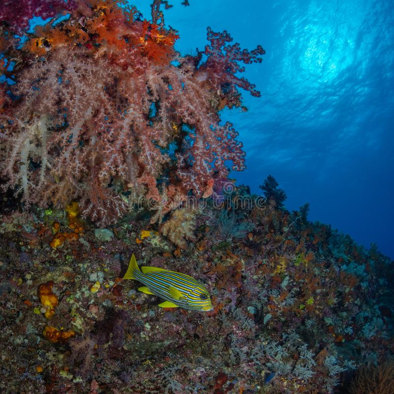 Brightly coloured tropical coral background. Misool, Raja Ampat, Indonesia. The reefs in the Misool Marine Protected Area within Raja Ampat, Indonesia, are the stock images