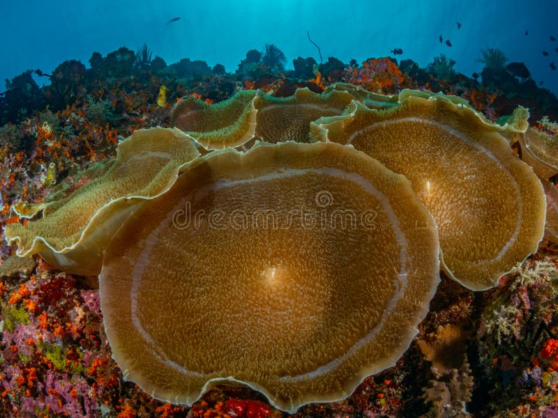 Authentic outstanding natural beauty. Misool, Raja Ampat, Indonesia. The reefs in the Misool Marine Protected Area within Raja Ampat, Indonesia, are the richest stock images