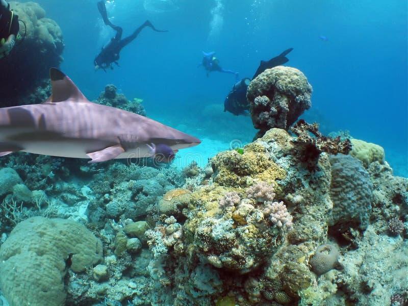 Reefshark fotografia stock