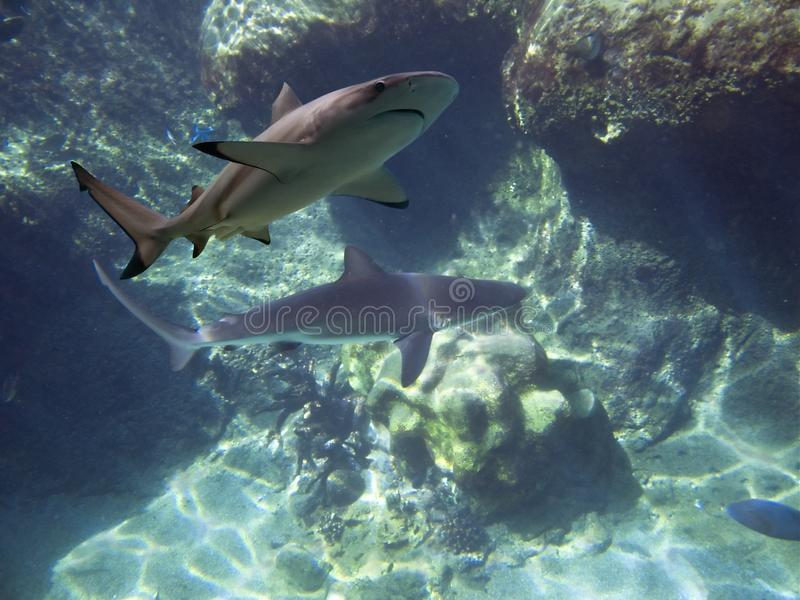 Reefsharks στοκ φωτογραφίες με δικαίωμα ελεύθερης χρήσης