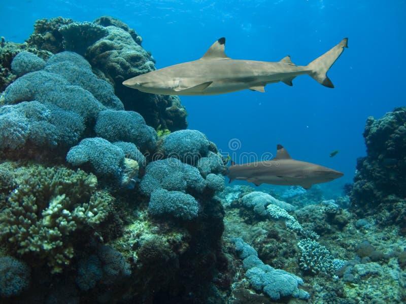 Reefsharks immagine stock libera da diritti