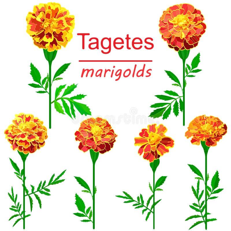 Reeks beelden van heldere goudsbloemen die op witte achtergrond worden geïsoleerd royalty-vrije illustratie