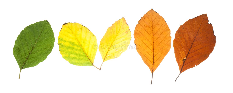 Reeks beukbladeren in verschillende dalingskleuren royalty-vrije stock afbeelding