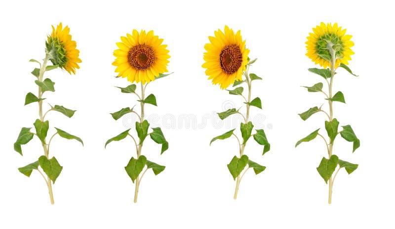 Reeks bloemen van een zonnebloem op een witte achtergrond stock afbeeldingen