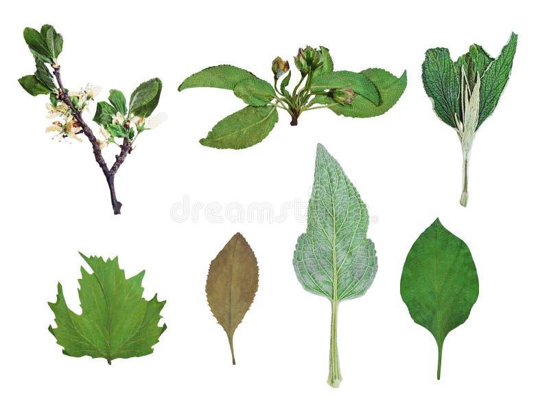 Reeks droge gedrukte die bladeren en bloemen op wit worden geïsoleerd royalty-vrije stock afbeeldingen