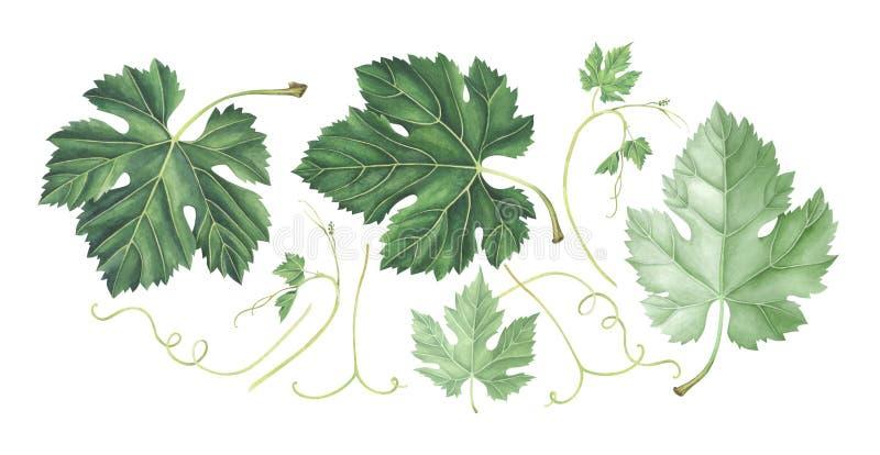 Reeks druivenbladeren die op witte achtergrond wordt geïsoleerd De illustratie van de waterverf royalty-vrije illustratie