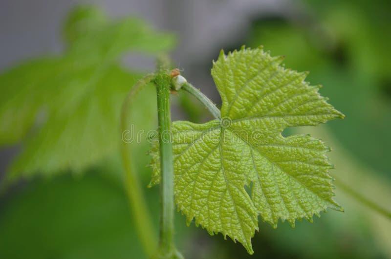 Reeks druivenbladeren stock foto's