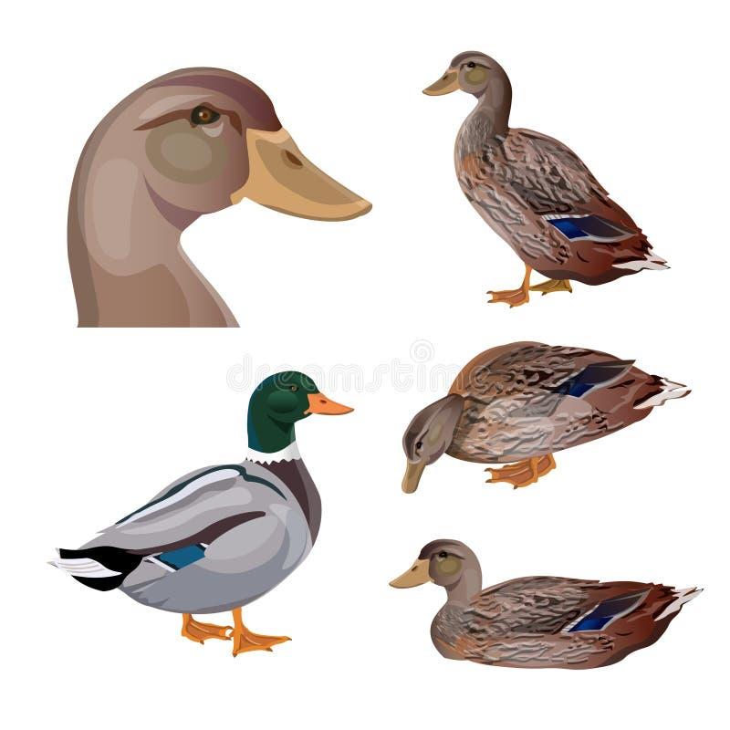 Reeks eenden vector illustratie