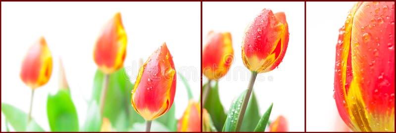Reeks geïsoleerde rode tulpen royalty-vrije stock afbeeldingen