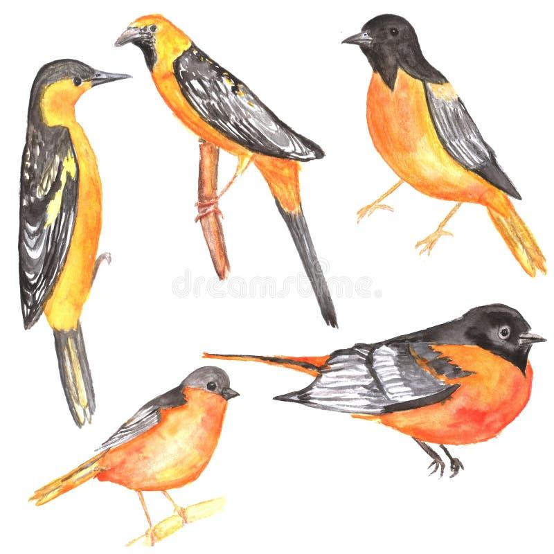 Reeks gele geïsoleerde orioles watercolor stock illustratie