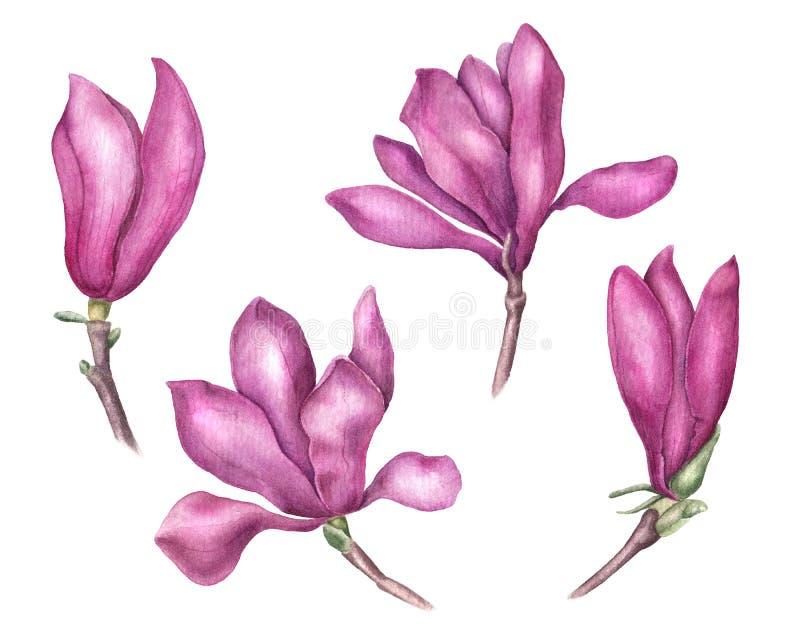 Reeks gevoelige roze magnoliabloemen, waterverfillustratie royalty-vrije illustratie