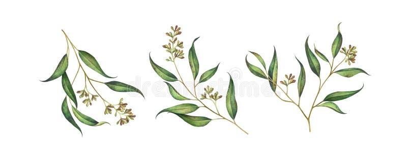 Reeks gezaaide die eucalyptustakken op witte achtergrond wordt geïsoleerd royalty-vrije illustratie