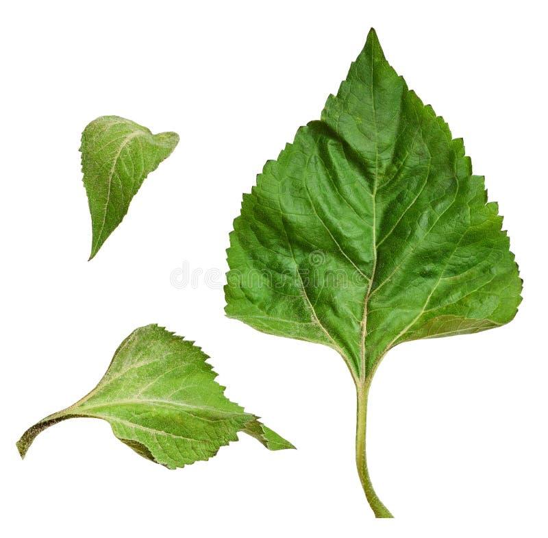 Reeks groene bladeren van zonnebloem royalty-vrije stock foto's