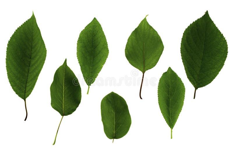 Reeks groene die bladeren van fruitbomen op witte achtergrond wordt geïsoleerd royalty-vrije stock afbeeldingen