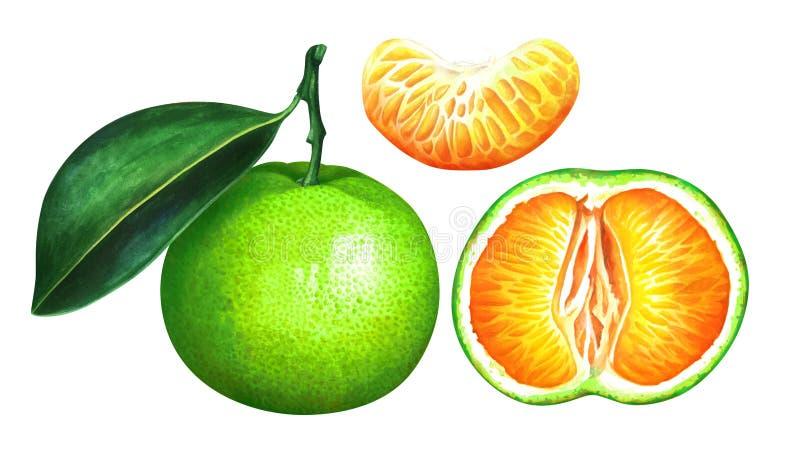 Reeks groene die mandarijnen op witte achtergrond wordt geïsoleerd Hand getrokken waterverfillustratie van exotische tropische vr stock illustratie