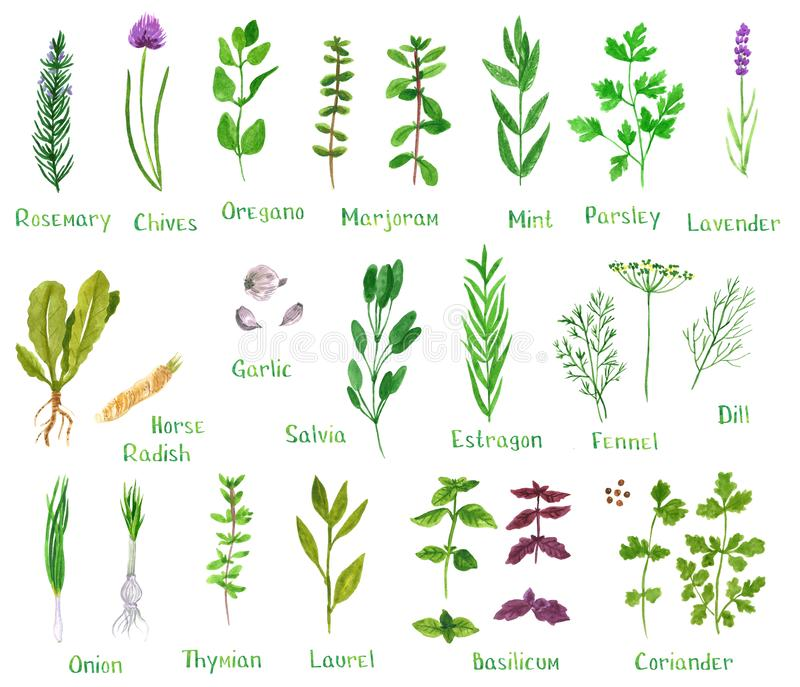 Reeks groene kruiden stock illustratie