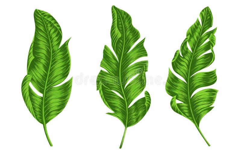 Reeks Groene tropische die banaan of palmbladen op witte backgroun, Botanische digitale illustratie wordt ge?soleerd royalty-vrije stock afbeelding
