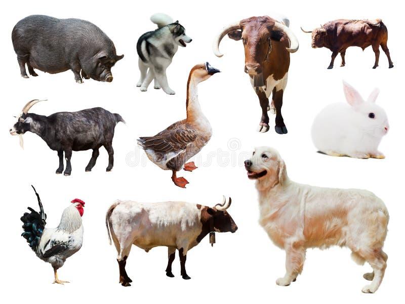 Reeks honden en andere landbouwbedrijfdieren over wit stock fotografie