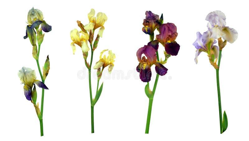 Reeks kleurrijke die bloemen van de kleureniris op witte achtergrond zonder schaduw wordt geïsoleerd Close-up stock afbeelding