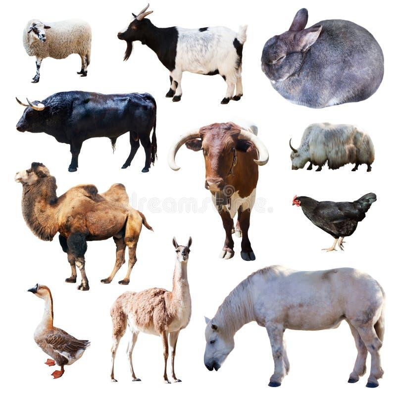 Reeks landbouwbedrijfdieren. Geïsoleerd op wit royalty-vrije stock afbeelding