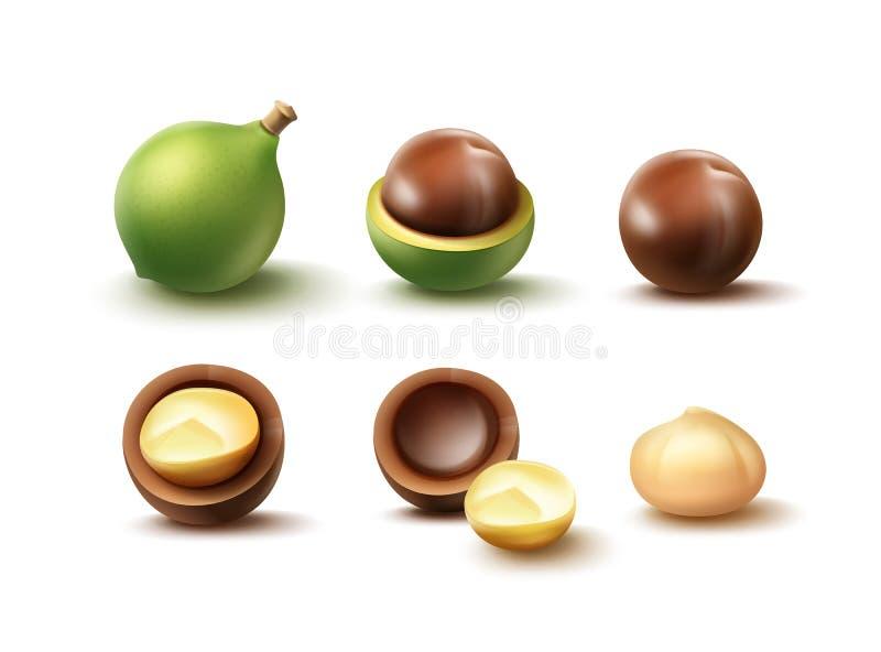 Reeks macadamia noten vector illustratie