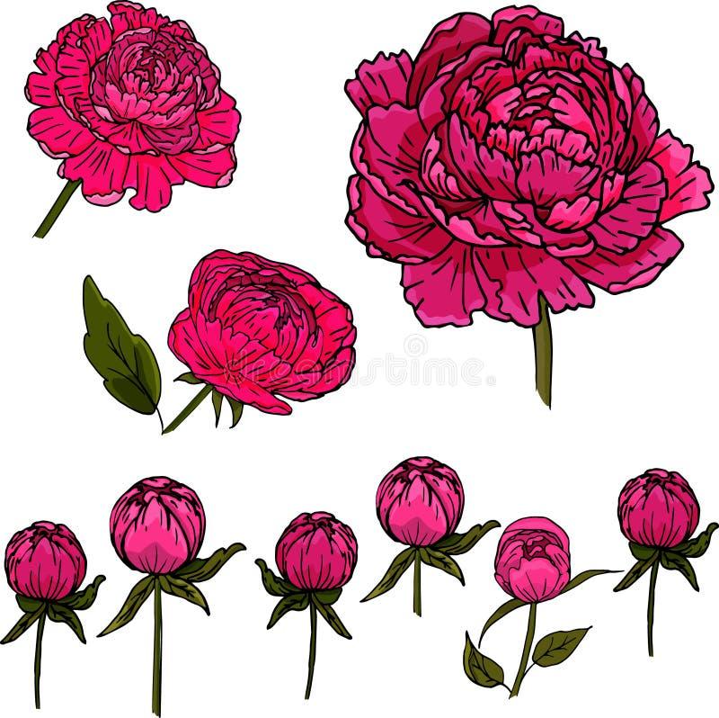 Reeks met bloemen en knoppen van pioen op een witte achtergrond royalty-vrije stock afbeeldingen