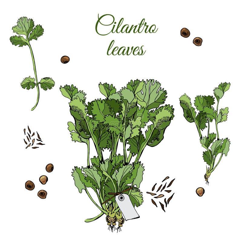 Reeks met bundels van bladeren van koriander en kruiden Hand getrokken inkt en gekleurde die schets op witte achtergrond wordt ge