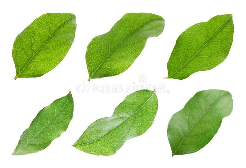 Reeks met de groene bladeren van de appelboom stock afbeeldingen