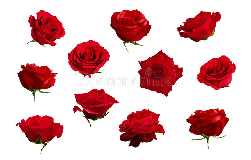 Reeks mooie rode of scharlaken rozen Geïsoleerde, witte backgroun stock foto's