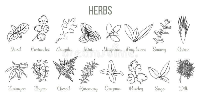 Reeks populaire culinaire kruiden Realistische stijl de schetsbasilicum van het pictogramoverzicht, koriander, munt, rozemarijn,  royalty-vrije illustratie