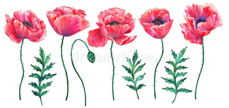 Reeks rode papavers met bladeren Kleurrijke bloemen Waterverfhand getrokken die illustratie op witte achtergrond wordt ge?soleerd royalty-vrije illustratie