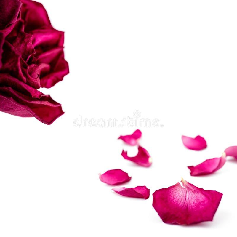 Reeks rode roze die bloemblaadjes op wit wordt ge?soleerd Macro stock afbeeldingen
