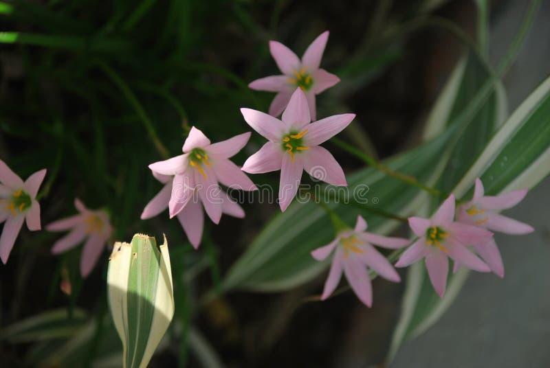 Reeks roze die bloemen, op een plattelandsgebied van †‹â€ ‹de Provincie van Panama wordt gevangen royalty-vrije stock afbeeldingen